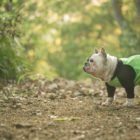 フレブル里親/保護犬情報