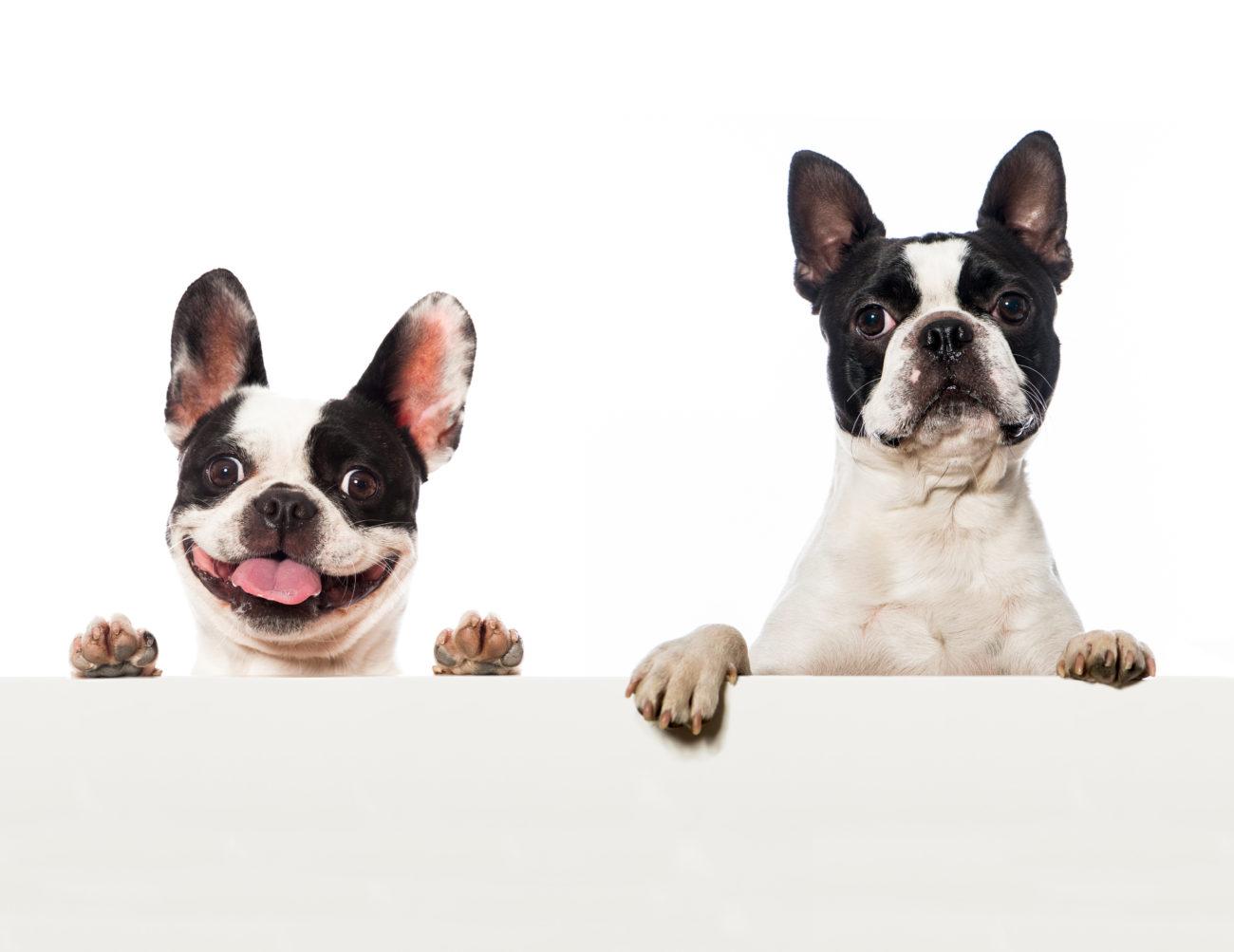 フレンチブルドッグとボストンテリアのMIX「フレンチトン」が可愛い!