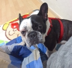 フレンチブルドッグ保護犬