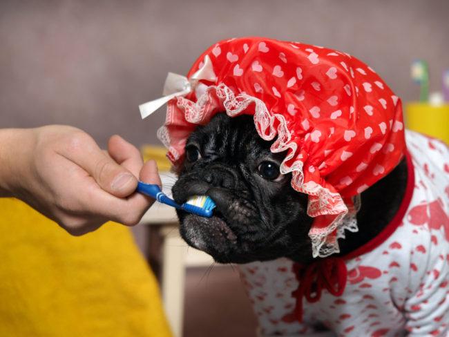 フレンチブルドッグ歯磨き