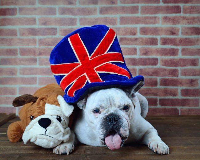 フレンチブルドッグ イギリス