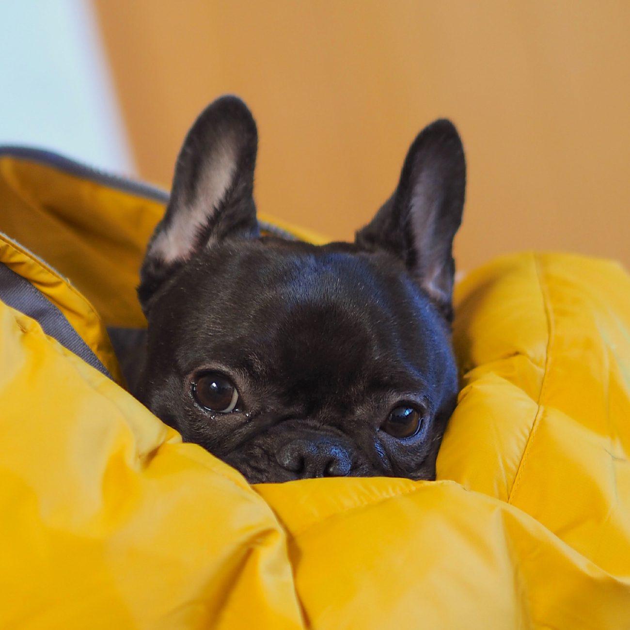 Resultado de imagen para french bulldog  犬  私のベッドで寝る