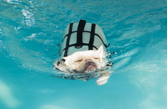 フレンチブルドッグ 犬かき