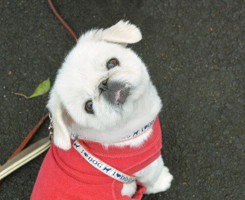 里親保護犬,ペキニーズ