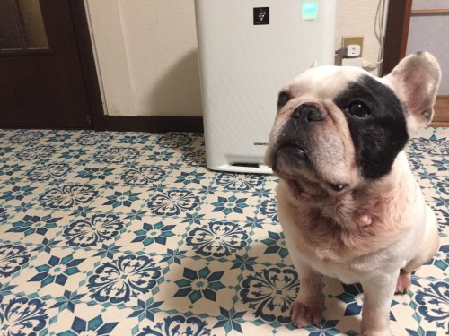 里親保護犬,フレンチブルドッグ