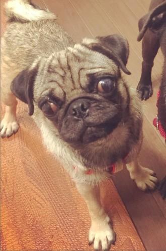フレンチブルドッグ保護犬パグ