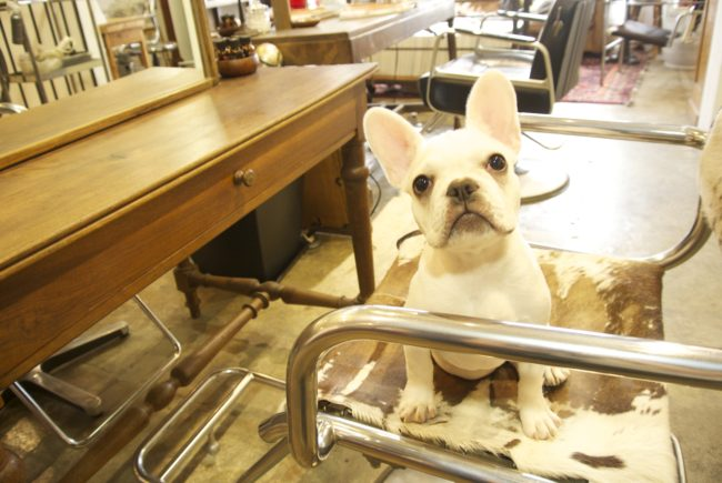 フレンチブルドッグ看板犬