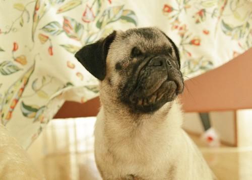 フレンチブルドッグパグ保護犬