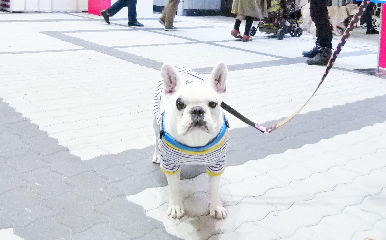 フレンチブルドッグペット博大阪