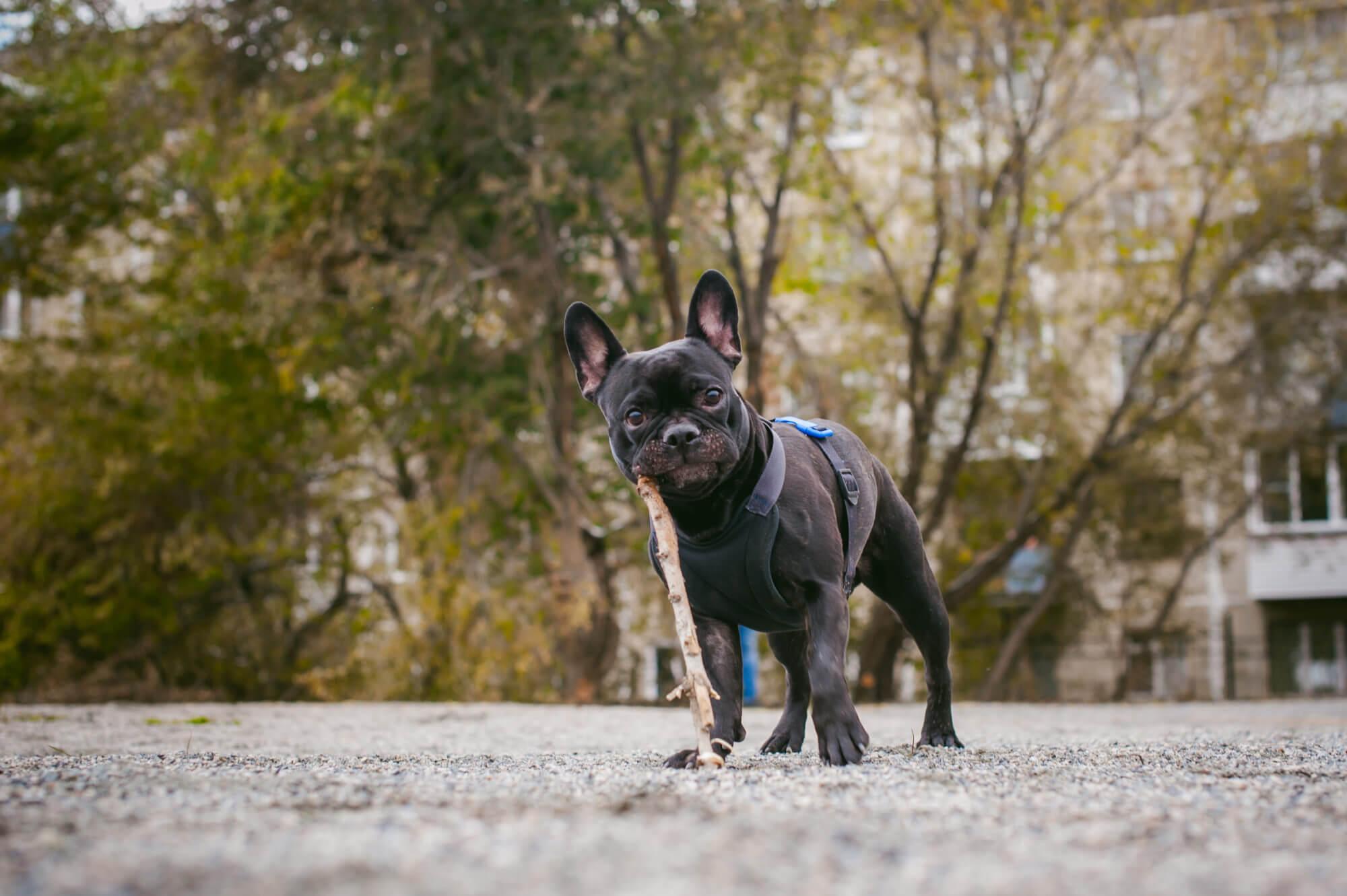 フレンチブルドッグ散歩