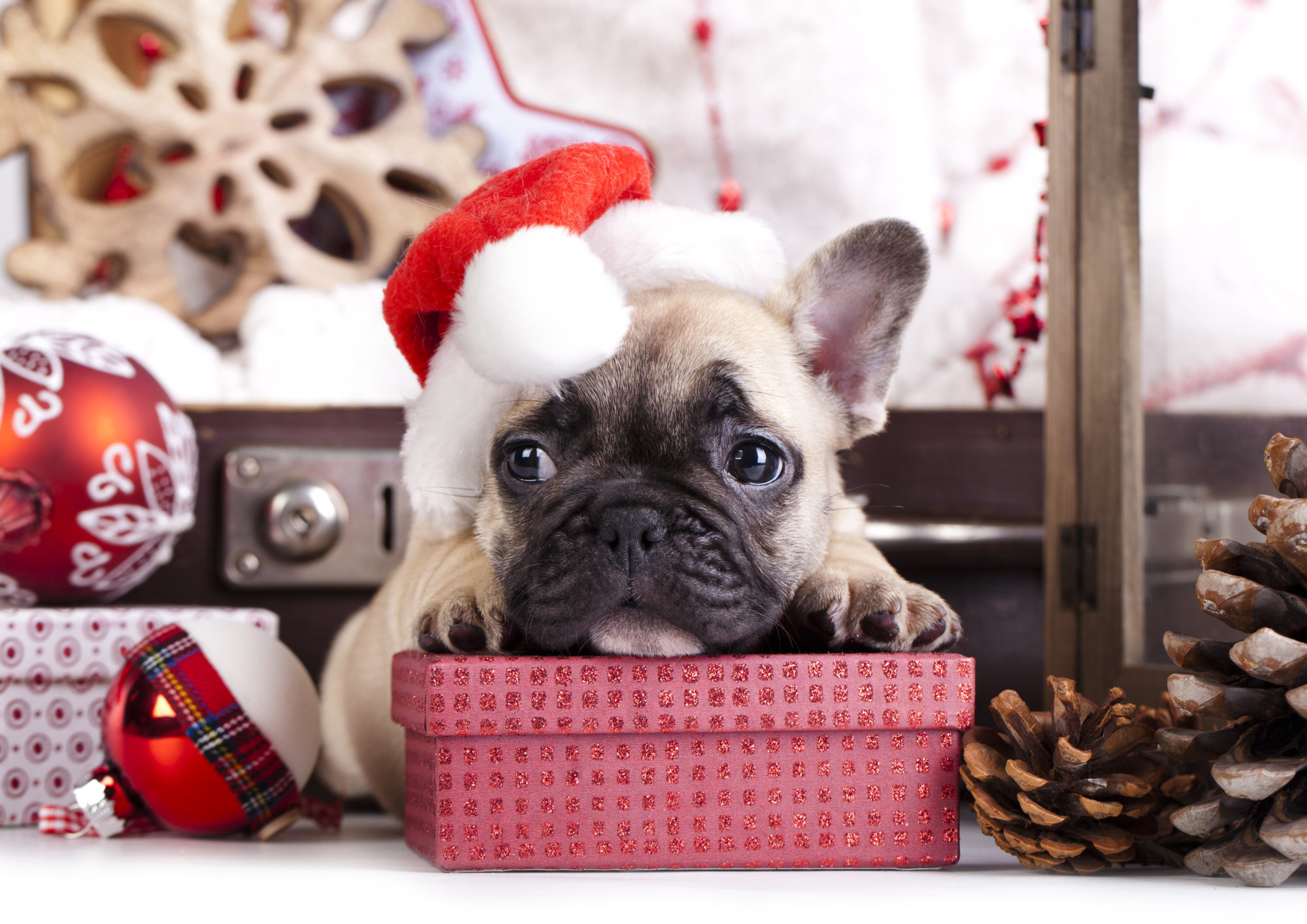 フレンチブルドッグクリスマス