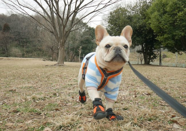 フレンチブルドッグ犬の靴