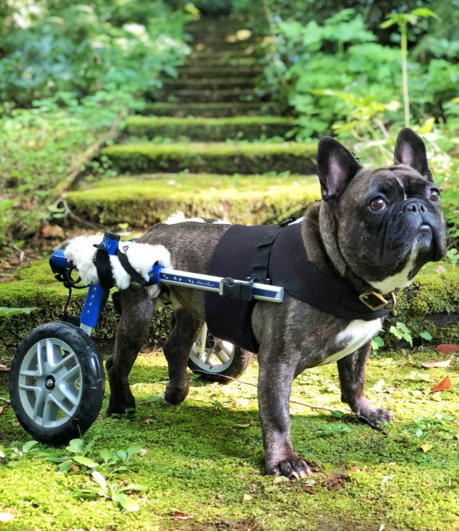 フレンチブルドッグ車椅子