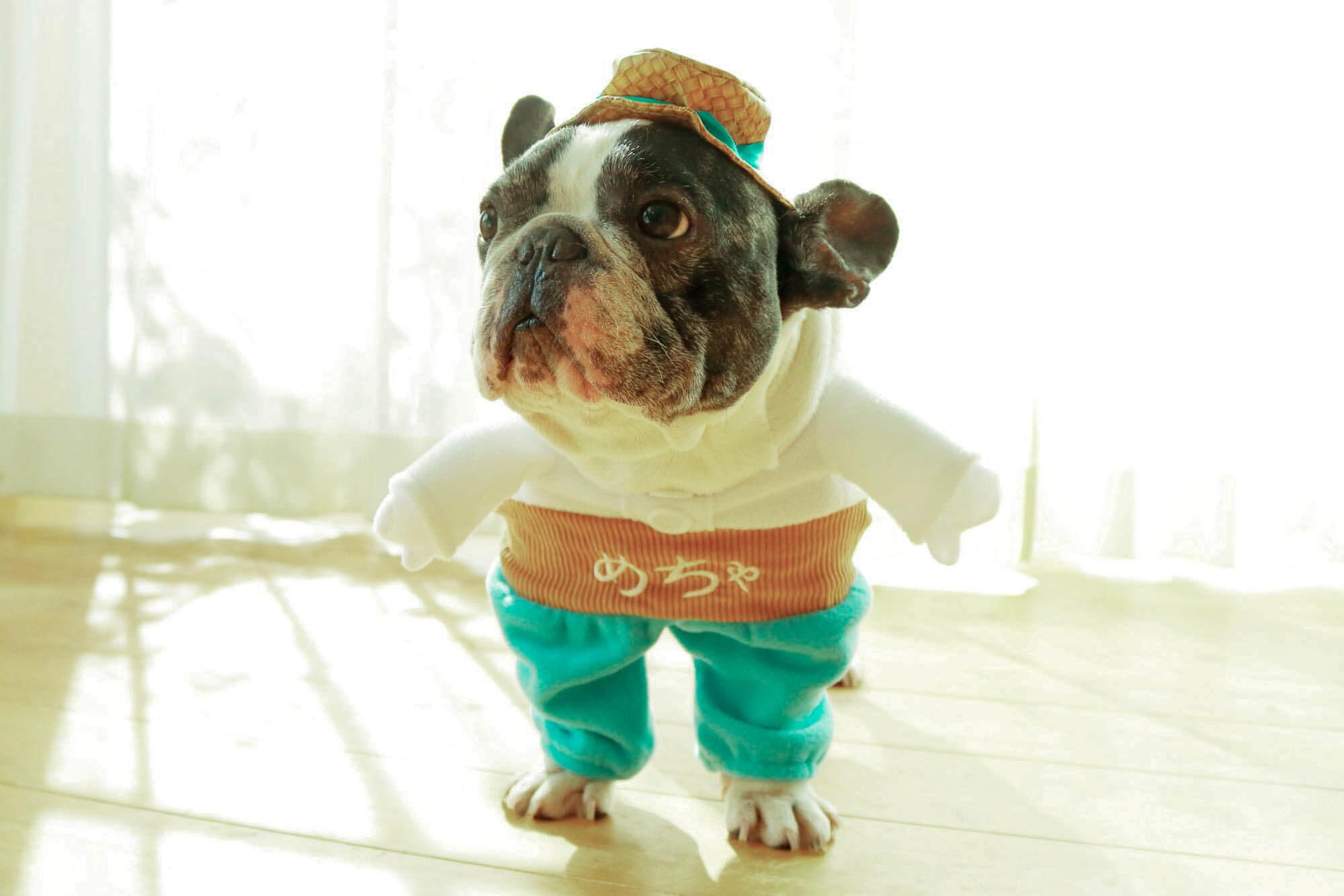 フレンチブルドッグめちゃ犬