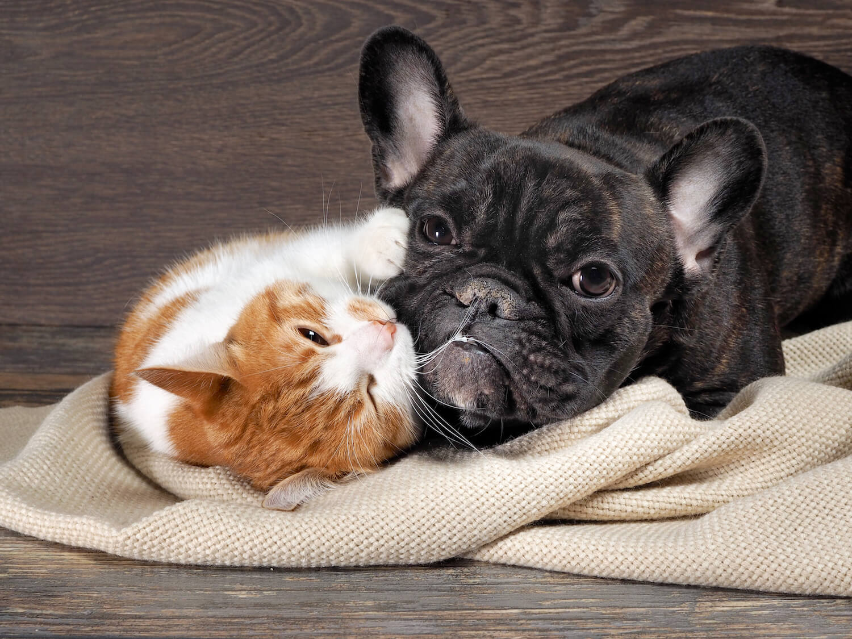 フレンチブルドッグ猫