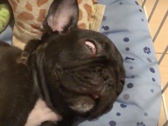 フレンチブルドッグ寝る