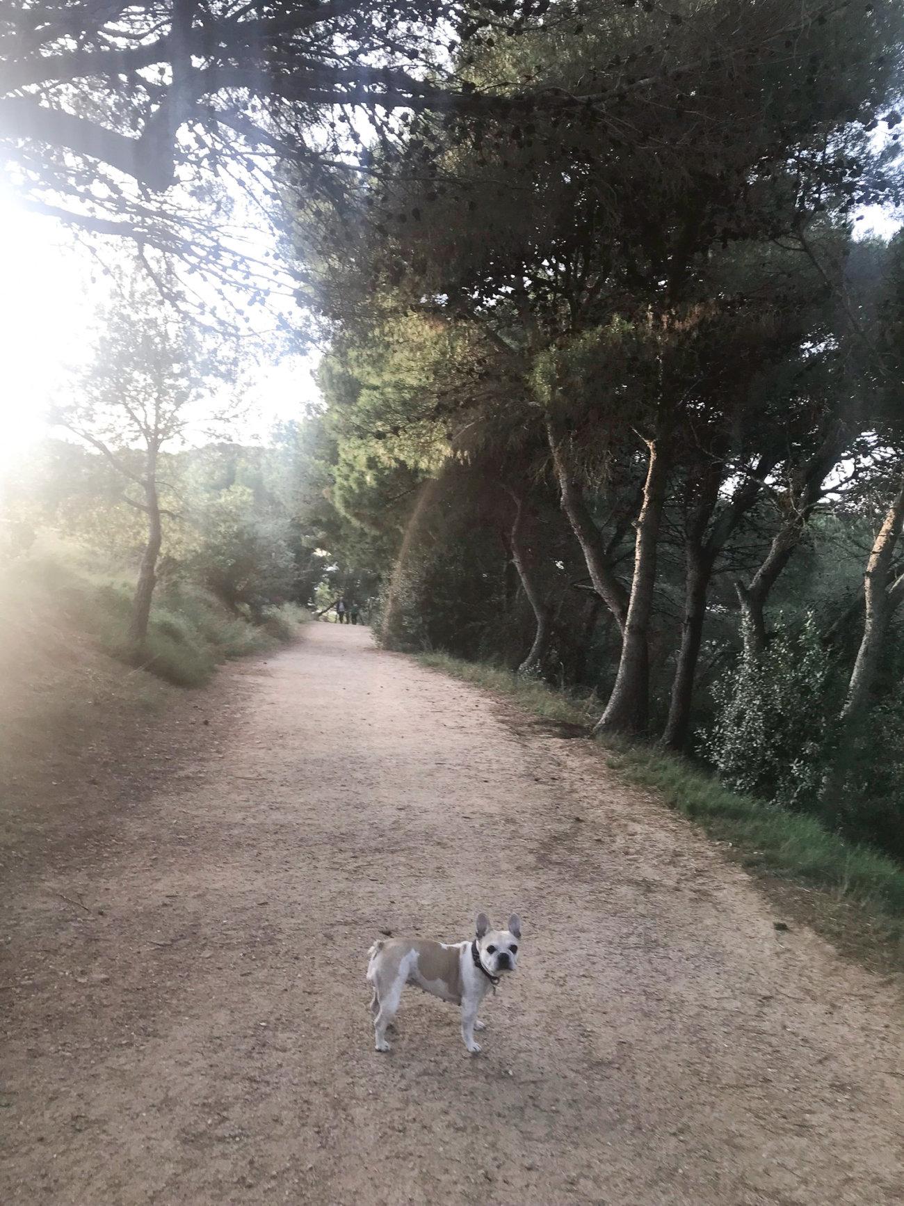 フレンチブルドッグ,スペイン,イトウマリ