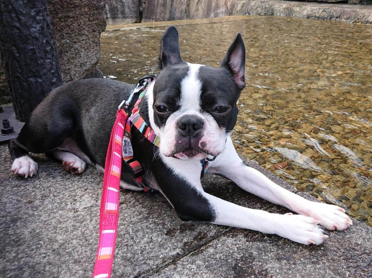 迷子犬,ボストンテリア