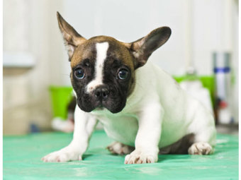 フレンチブルドッグ,狂犬病予防接種