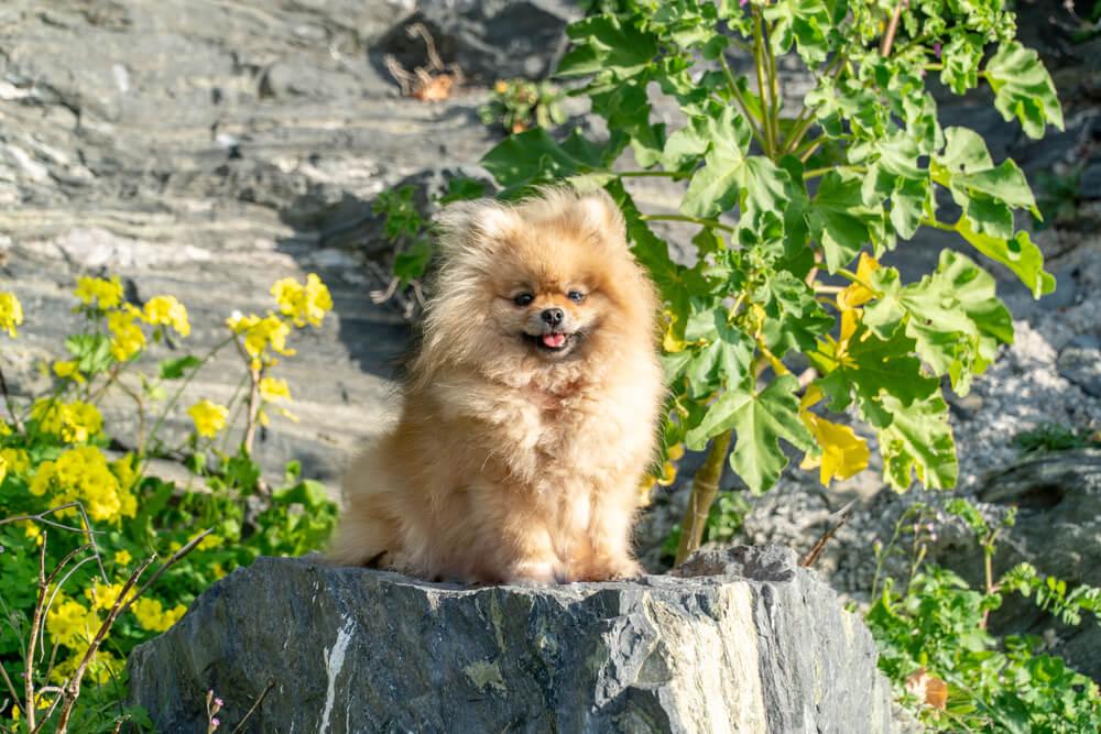 フレンチブルドッグ,異犬種