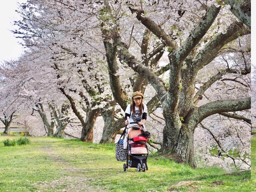 犬と散歩,フレンチブルドッグ,桜