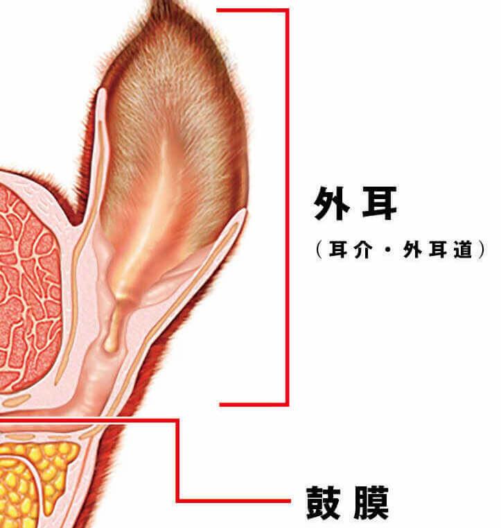 フレンチブルドッグの外耳