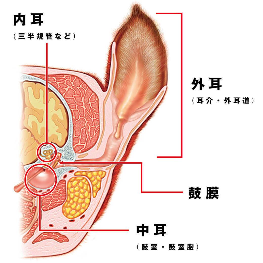 フレンチブルドッグの耳の構造