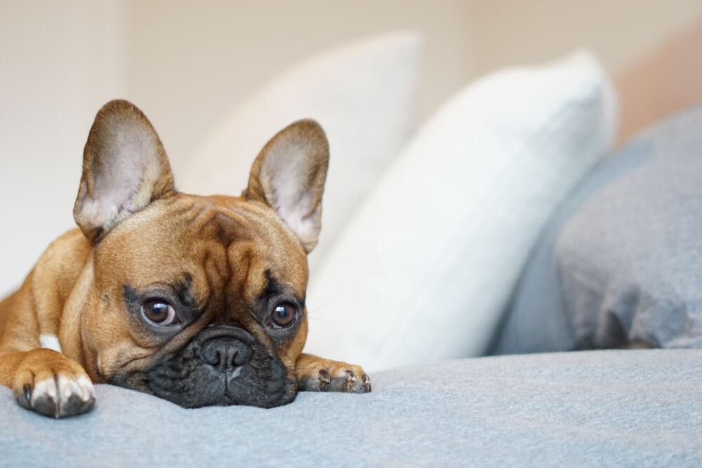 フレンチブルドッグ,快眠,寝床