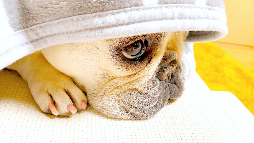 フレンチブルドッグ,毛布,匂い