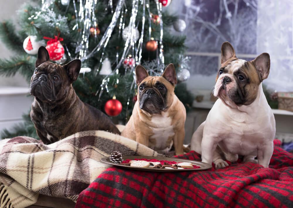 フレンチブルドッグ,クリスマス,ドネーション