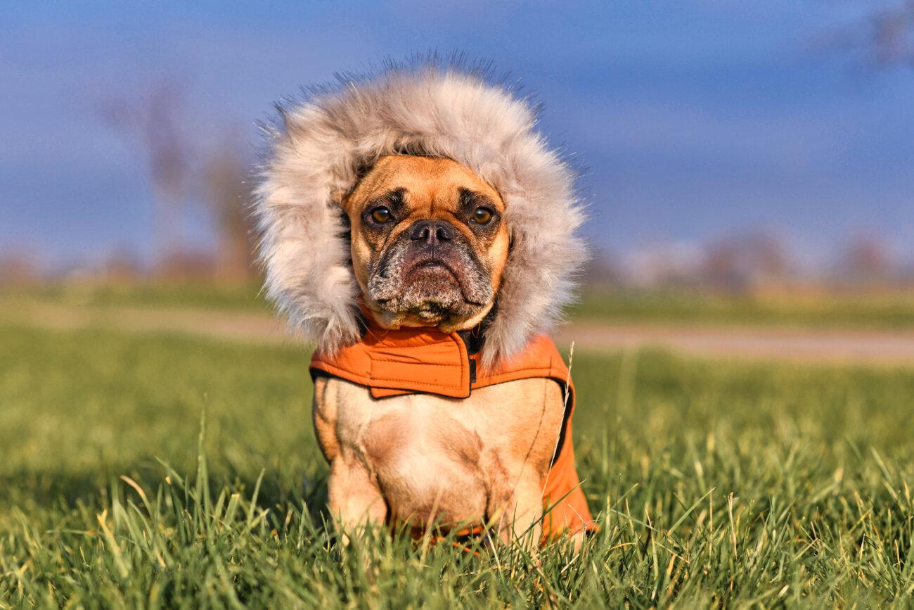 フレンチブルドッグ,愛玩動物飼養管理士