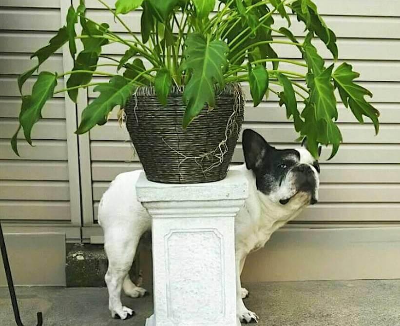 French Bulldog,レジェンドブヒ