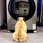 大事なおもちゃがみんな洗われた。心配で不安で、洗濯機に張り付き見守るフレブルが健気すぎる【動画】