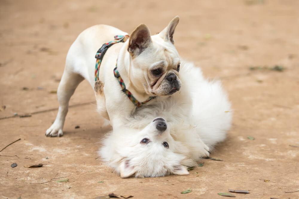 フレンチブルドッグの仔犬