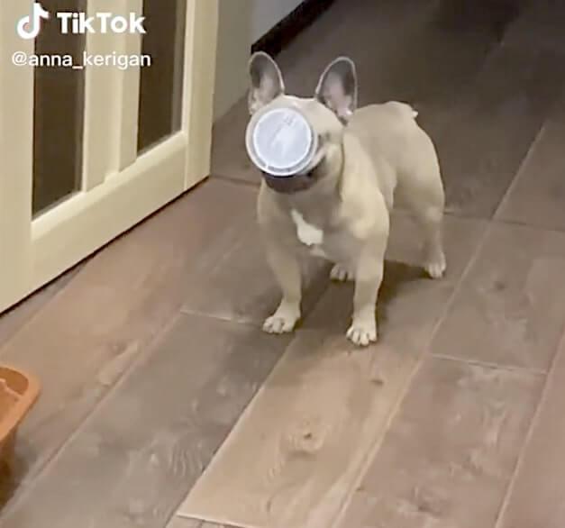 フレンチブルドッグ,TikTok,動画