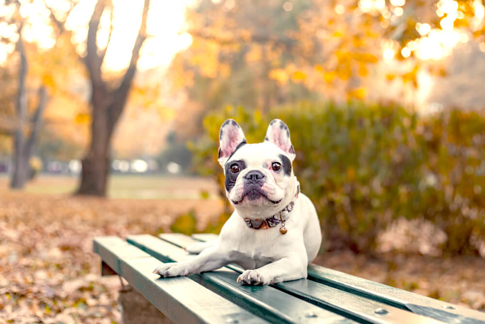 フレンチブルドッグ,秋,行楽,注意点